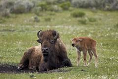 Bison (Bison bison) cow and calf, Yellowstone National Park, Wyoming, United Stock Photos