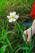 kid hands to pluck a flower - stock photo