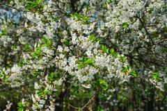 white cherry tree blossom in a garden - stock photo