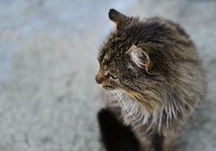 unruffled wild cat - stock photo