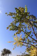 Frankincense tree (Boswellia sacra), Museum of Frankincense Land, Al-Baleed, Stock Photos