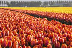 The colourful tulip fields in spring, Berkmeer, Koggenland, North Holland, Stock Photos