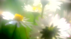 Dasies on the springtime meadow Stock Footage