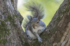 Gray Squirrel Sitting in a Tree - stock photo