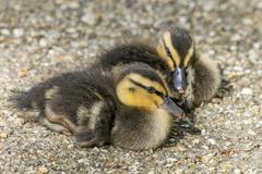 Young Mallard Ducklings - stock photo