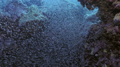 UHD underwater shot of schooling glassfish in Red Sea - stock footage