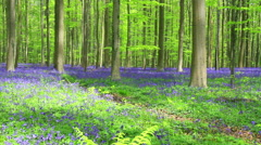Bluebell flowers (Hyacinthoides). Stock Footage