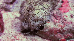 Sea cucumber among coral in search of food. Macro. Stock Footage