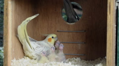 Female cockatiel feeding chicks inside a nest box Stock Footage