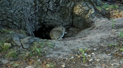 Little bunny is frightened and runs away into the hole in the tree. Stock Footage