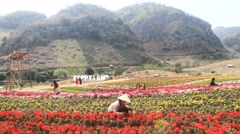women take care of the flower field, Asia - stock footage
