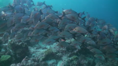 Flock of tropical fish on reef in search of food. Stock Footage