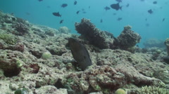 Moray peeps out of hiding on coral reef. Maldives Stock Footage