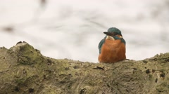 Kingfisher in springtime - stock footage