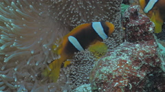 UHD underwater close shot of Clownfish between anemone´s tentacles Stock Footage