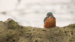 Kingfisher in springtime Stock Footage