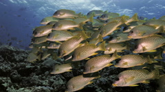 UHD underwater shot of schooling blackspotted sweetlips in coral reef Stock Footage