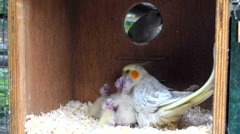 Female cockatiel feeding chicks inside a nest box replaced by the male Stock Footage