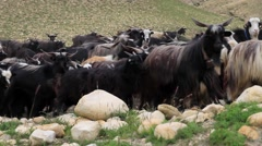 Herd of mountain goat grazing on the mountains of Mustang, Nepal Stock Footage