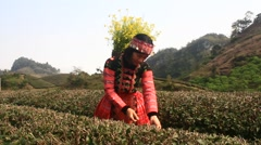 Girl in red dress colorful harvest tea on the hill, Asia Stock Footage