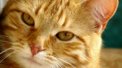 Red-haired cat closeup - stock footage