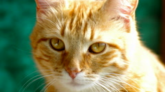 Red-haired cat looks closely Stock Footage