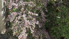Berberis vulgaris - common barberry Stock Footage