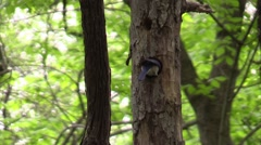 male blue bird feeding youn in forest - stock footage