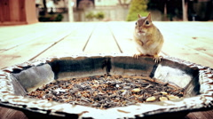 4K Portrait of the common North American chipmunk Stock Footage