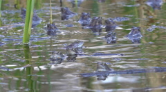 A lots of blue frogs in the pond Stock Footage