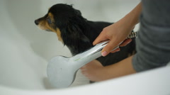 Small Dog Bathing - stock footage