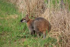 Wallaby grazing on a farm in NSW, Australia Stock Photos