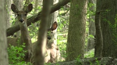 Whitetail doe and button buck in spring forest Stock Footage