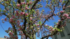 Blooming magnolia tree (Magnolia) Stock Footage