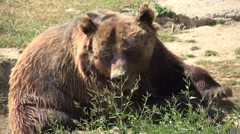4K Brown Bear Portrait in Forest, Face of Wild Animal Looking Sniffing in Nature Stock Footage