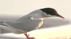 tern on the seashore - stock footage