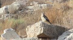 Short toed eagle Stock Footage