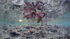 Crinoid Swimming Near Surface of Tropical Pacific Stock Footage