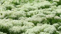 Thickets of blooming yarrow on a spring meadow Stock Footage