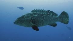 UHD underwater shot of massive Malabar grouper Stock Footage
