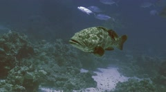 UHD underwater shot of huge Malabar grouper in the Red Sea Stock Footage