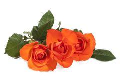Three Bright Orange Roses on Green Leafy Stems - stock photo