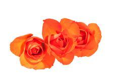 Three Bright Orange Rosebuds on Wite Background - stock photo