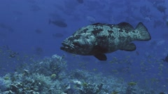 UHD underwater shot of huge Malabar grouper in front of other fish, Red Sea - stock footage