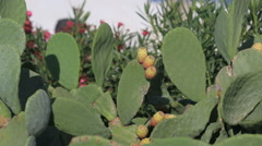 Close up of yellow Beaver Tail cactus blossom in the Santorini, Greece Stock Footage