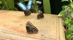 Group of Blue Morpho Butterfly Morpho peleides one crashes in slow motion Stock Footage