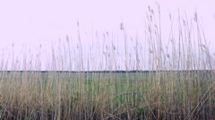 Reeds Blowing in the Wind on an Overcast Day Stock Footage