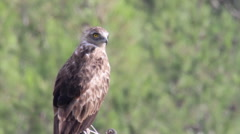 Short toed eagle standing on a branch Stock Footage