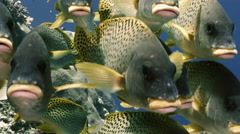 UHD underwater shot of blackspotted sweetlips, frontal faces Stock Footage