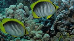 UHD underwater shot of schooling black back butterflyfish in coral reef Stock Footage